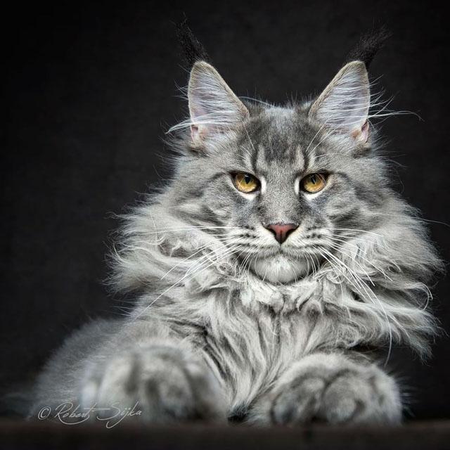 Maine Coon Irkı Kediler