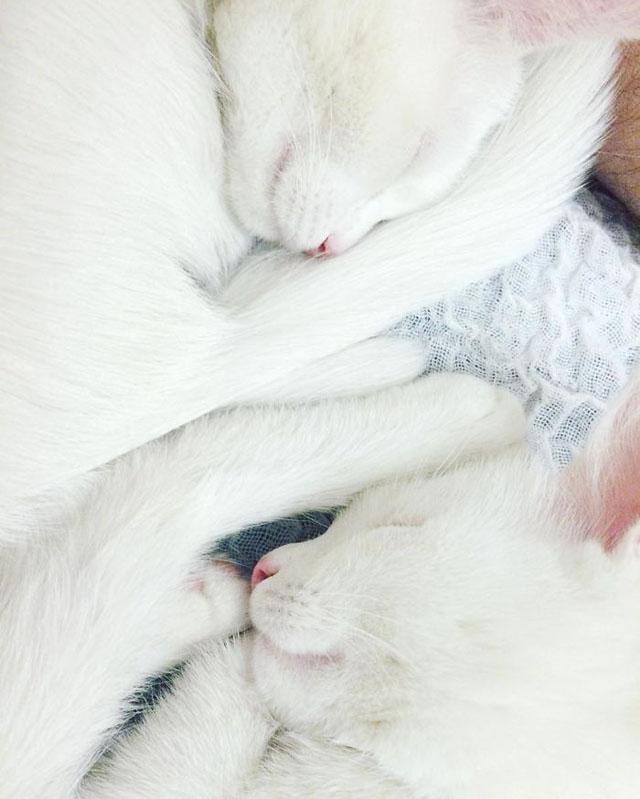 Instagram Fenomeni İkiz Kediler