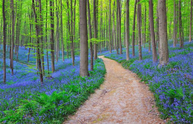 Belçika Yaban Sümbülü Kaplı Orman