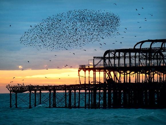 Sığırcık sürüleri, Brighton Pier, İngiltere