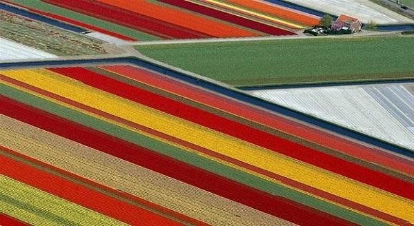 Lale Tarlası - Lisse / Hollanda