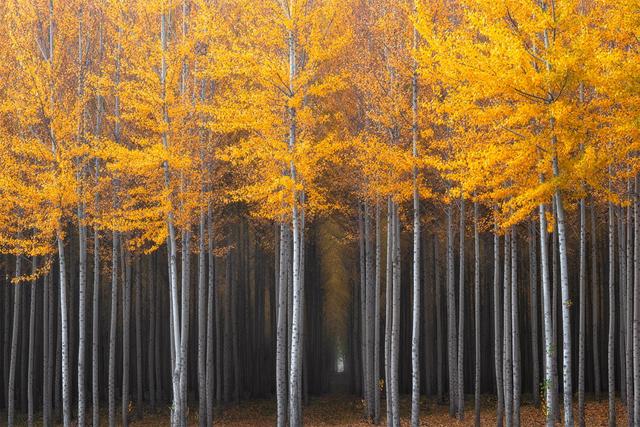 Oregon - Kavak Ağaçları