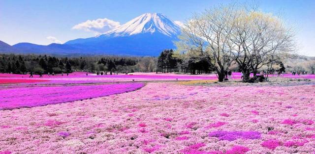 Shibazakura Hill - Japonya