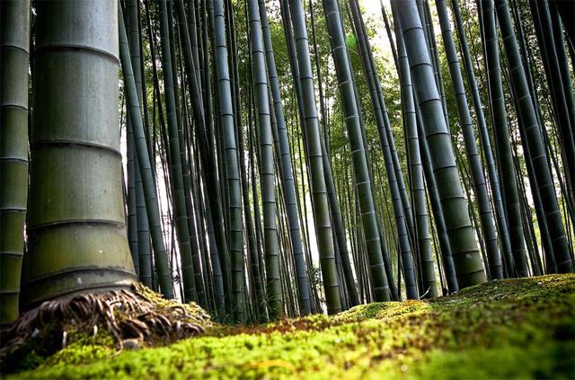 Arashiyama Bölgesi, Kyoto Japonya\'da bir bambu ormanı